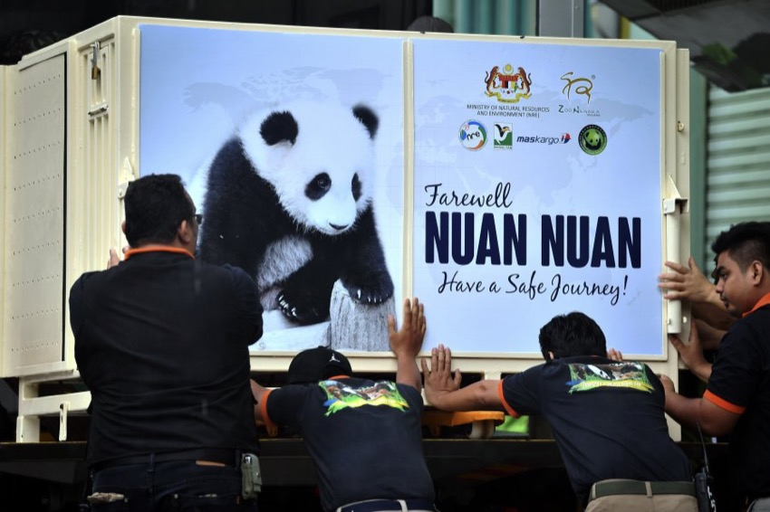 MABkargo flies Nuan Nuan the panda cub to China