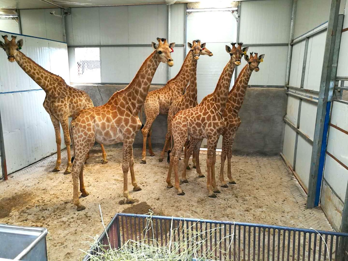 No stretch for AirBridgeCargo as it uplifts 66 baby giraffes