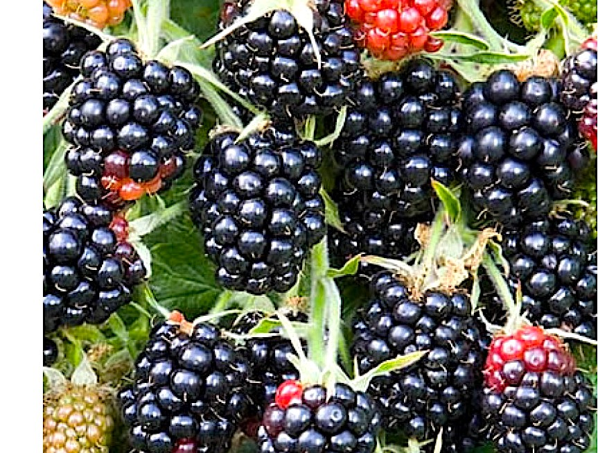 Turkish Cargo does 'berry' good job uplifting Chesters to the world