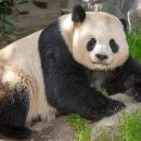 Gao Gao returns to China, a hero in the Panda conservation battle